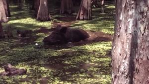 Louisiana Tour - Wild Pigs