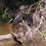 Louisiana Tour - Blue Heron